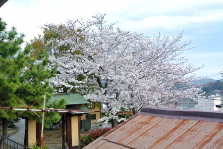 Mysakura